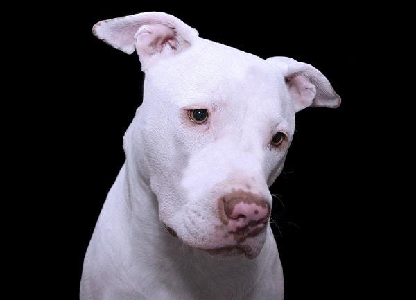 """Imagen de Perro PitBull Butterfly Nose Si el perro posee pelaje blanco en la trompa(hocico), y algunos parches de color en su nariz, y la trufa no es de un solo color, será conocido como """"Butterfly Nose"""""""