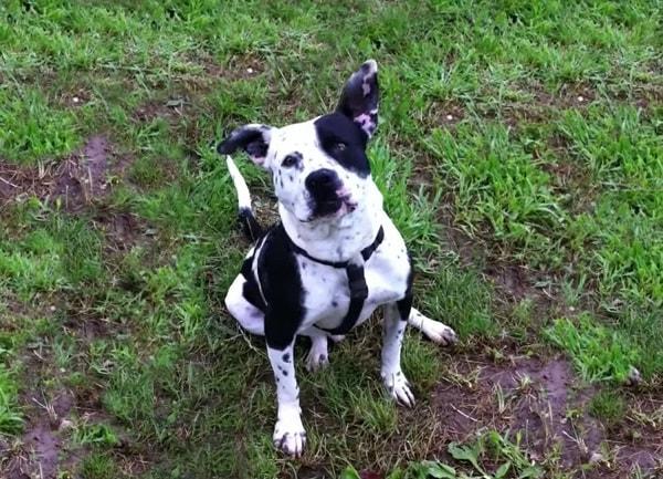 La clase de PitBull Spike se creé que surgido de la cruza con Dálmatas, por ello su pelaje moteado y su carácter amigable.  El PitBull Spike es procedente de Estados Unidos. Se creé que su comportamiento ha permitido que sea de los más populares he ideales para el hogar.