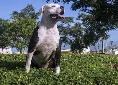 Origen El American PitBull Terrier comparte orígenes con el American Staffordshire Terrier ya que ambas razas poseen un antepasado común que es el Staffordshire Bull Terrier, procedentes desde Inglaterra y llevados a Estados Unidos, a finales del…