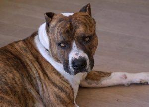 American Staffordshire Terrier Origen El American Staffordshire Terrier es descendiente de las razas Old English Bulldog y Old English Terrier, el perro resultante de este cruce llego a Estados Unidos en el siglo XIX, para el año 1898 los representantes de…