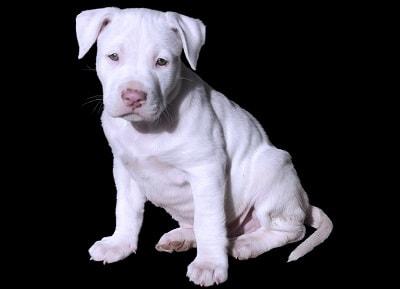 ¿Como saber si poseo un PitBull Butterfly Nose? Si el perro posee pelaje blanco en la trompa(hocico), y algunos parches de color en su nariz, a trufa no es de un solo color, será conocido como...
