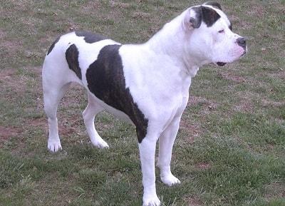 Johnsons Origen Esta línea se asemeja muchísimo al Bulldog, pero dada sus características es más similar al American PitBull Terrier, aunque hay debate sobre este punto muy similar al existente con el Bull Terrier, si es o no perteneciente a…
