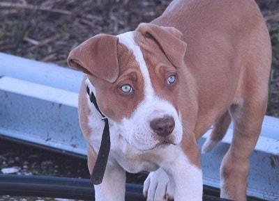 La variante se cree que surgió de la cruza entre el Red Nose Old Family de Irlanda que al llegar a Estados Unidos fueron apareados con el American Pitbull Terrier, dando como resultado al actual Red Nose, pero no es del todo definitivo...