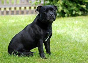 Staffordshire Bull Terrier Des de la Edad Media ya existía la costumbre de enfrentar a dos perros en un corral. Más adelante, y en Inglaterra concretamente, en estos espectáculos se empezaron a encarar Bulldogs contra toros u osos...