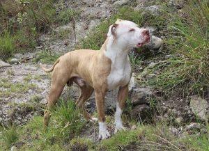 Tex Mex Tex Mex Origen Los cruces fueron desarrollados en Texas entre ejemplares y comparten muchas características similares a las del Red Nose y American Pitbull Terrier (aunque suele variar), cabezas más anchas, y color oscuro, negro o café con blanco. Los PitBull Tex Mex…