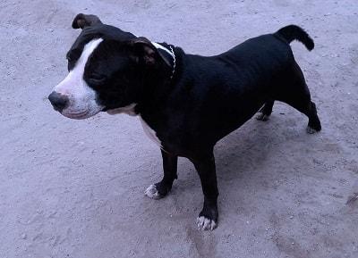 El Game o Gameness es una conducta presente en los ejemplares del American Pitbull Terrier (APBT), que diferencia a los verdaderos APBT de los que no lo son, esta condición consiste