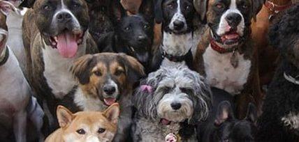 La correcta socialización en perros y perros de raza PitBull