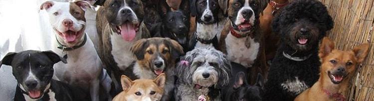 La socialización en los perros es una de las actividades, básicas que todo  dueño de una de estas mascotas debe realizar si desea tener un animal con la correcta educación y relación con personas fuera de la familia y otros animales. En el siguiente artículo te explicaremos de forma clara, algunas de las recomendaciones que debes de seguir al momento de socializar tu perro en especial si este es un perro PitBull.