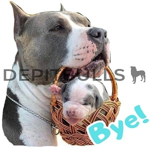 Pack of Stickers for WhatsApp DEPITBULLS Stickers de perros cachorros Pitbulls Picbull  padre pitbull con hijo pitbull American PitBull Terrier  bye
