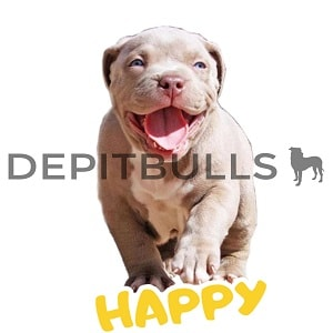 Pack of Stickers for WhatsApp DEPITBULLS Stickers de perros cachorros Pitbulls Picbull cachorro pitbull Blue Fawn happy