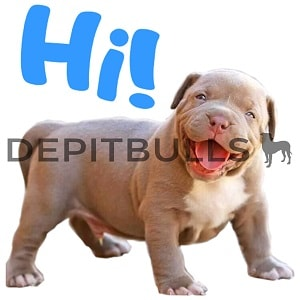 Pack of Stickers for WhatsApp DEPITBULLS Stickers de perros cachorros Pitbulls Picbull cachorro pitbull Blue Fawn hi