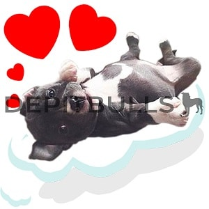Pack of Stickers for WhatsApp DEPITBULLS Stickers de perros cachorros Pitbulls Picbull  cachorro pitbull black nose relajado y enamorado relaxed