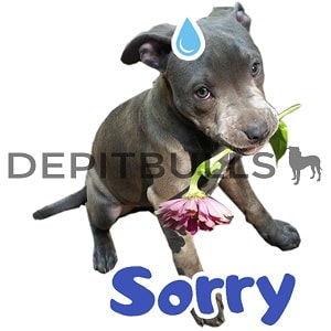 Pack of Stickers for WhatsApp DEPITBULLS Stickers de perros cachorros Pitbulls Picbull  cachorro pitbull apenando pidiendo disculpas sprry