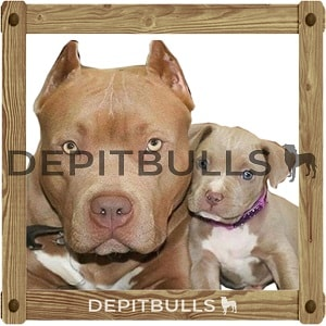 Pack of Stickers for WhatsApp DEPITBULLS Stickers de perros cachorros Pitbulls Picbull  pare e hijo pitbull en foto familiar together