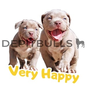 Pack of Stickers for WhatsApp DEPITBULLS Stickers de perros cachorros Pitbulls Picbull  cachorros pitbulls muy felices corriendo happy