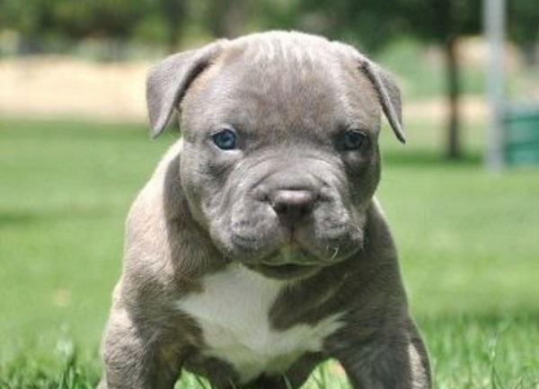 La personalidad del Pitbull Blue Nose es bastante equilibrada, muy juguetón y amistoso pese a sus orígenes orientados hacia las peleas es un perro muy afable, disfruta de la compañía de las personas y muy energético y vivaz e igualmente de inteligente