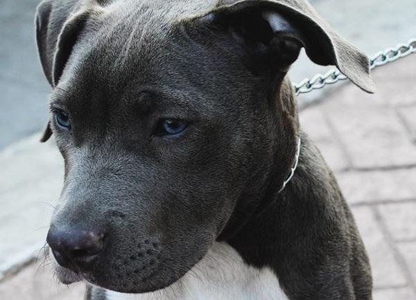 Entre las diferentes razas de PitBull hay una que destaca por su particular belleza esta es el Pitbull Blue Nose.  Actualmente el única raza oficial considerado UKC (United Kennel Club), además de durante un periodo de tiempo el Pitbull fue eliminado de la lista debido a la mala reputación que la prensa le había dado a este.