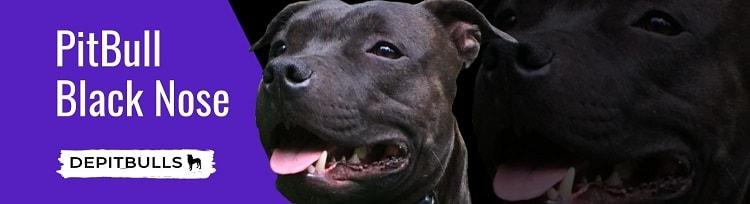 La nariz negra era un estándar en la raza de Pitbull, fue así hasta que por el siglo veinte surgieron los ejemplares con nariz roja, entonces el término se utilizó, como diferenciador, en la actualidad debido a su numeroso numero el Pitbull Black Nose, es muy poco comercializado y por ende es menos visto en competencias y exhibiciones.