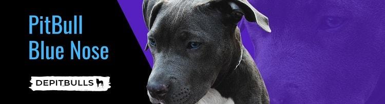 imagen image de PitBull cachorro PitBull Blue Nose azules
